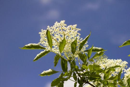 Kwiaty czarnego bzu w cieście