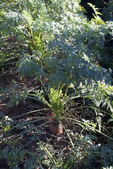 Marchewkowe pole, czyli jak się robi soki w Marwicie